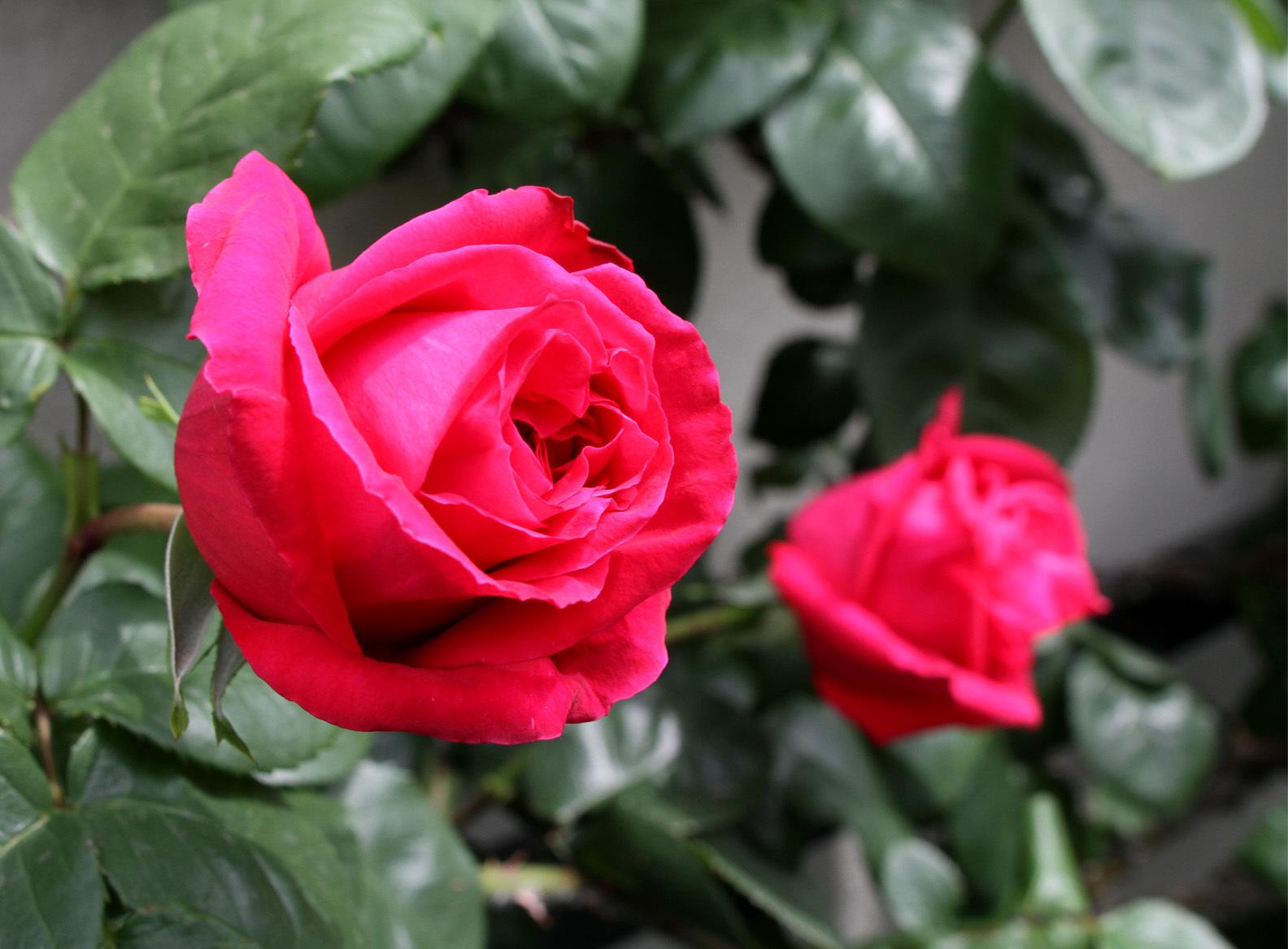 4月26日のバラ(6)