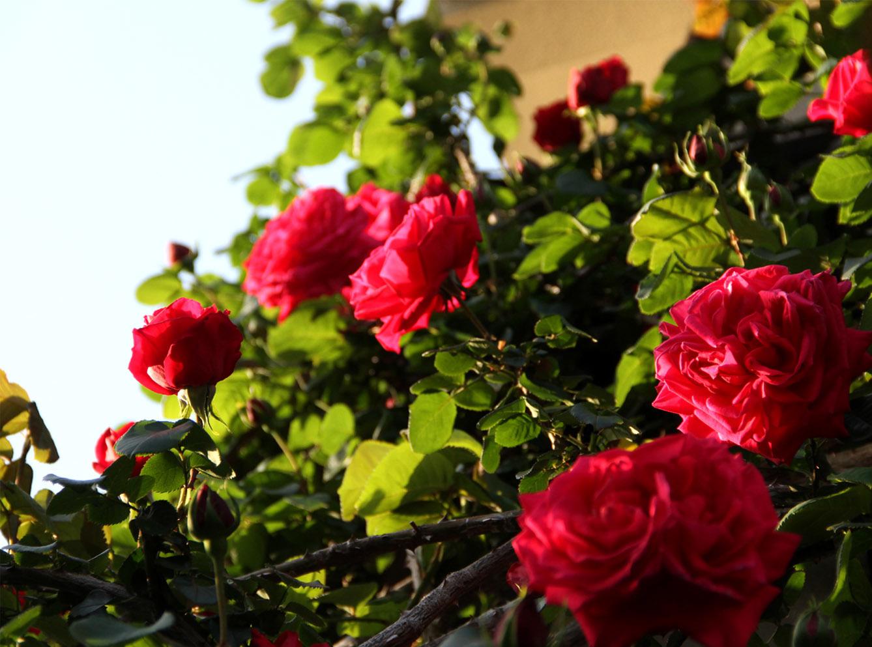 4月30日のバラ(1)