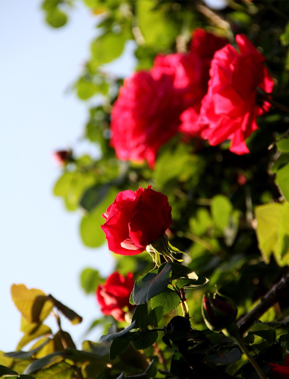 4月30日のバラ(2)