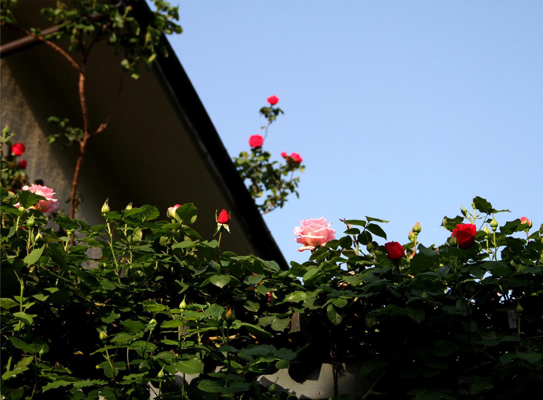 4月30日のバラ(5)
