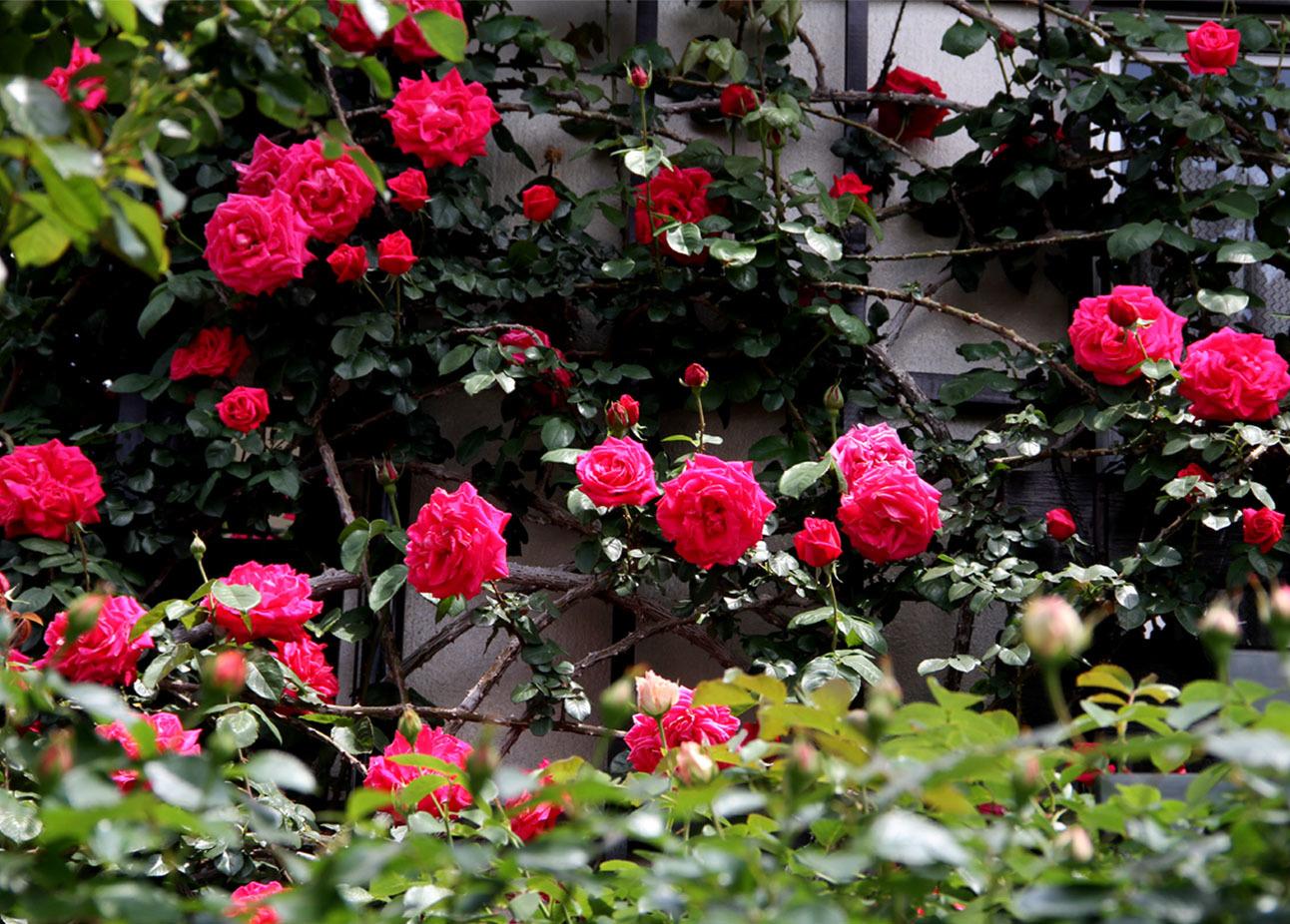 5月5日のバラ模様(2)