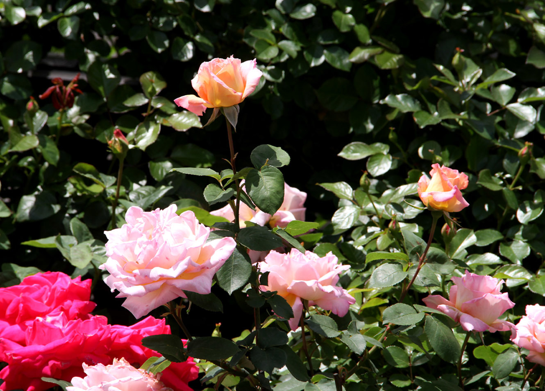 5月5日のバラ模様(7)