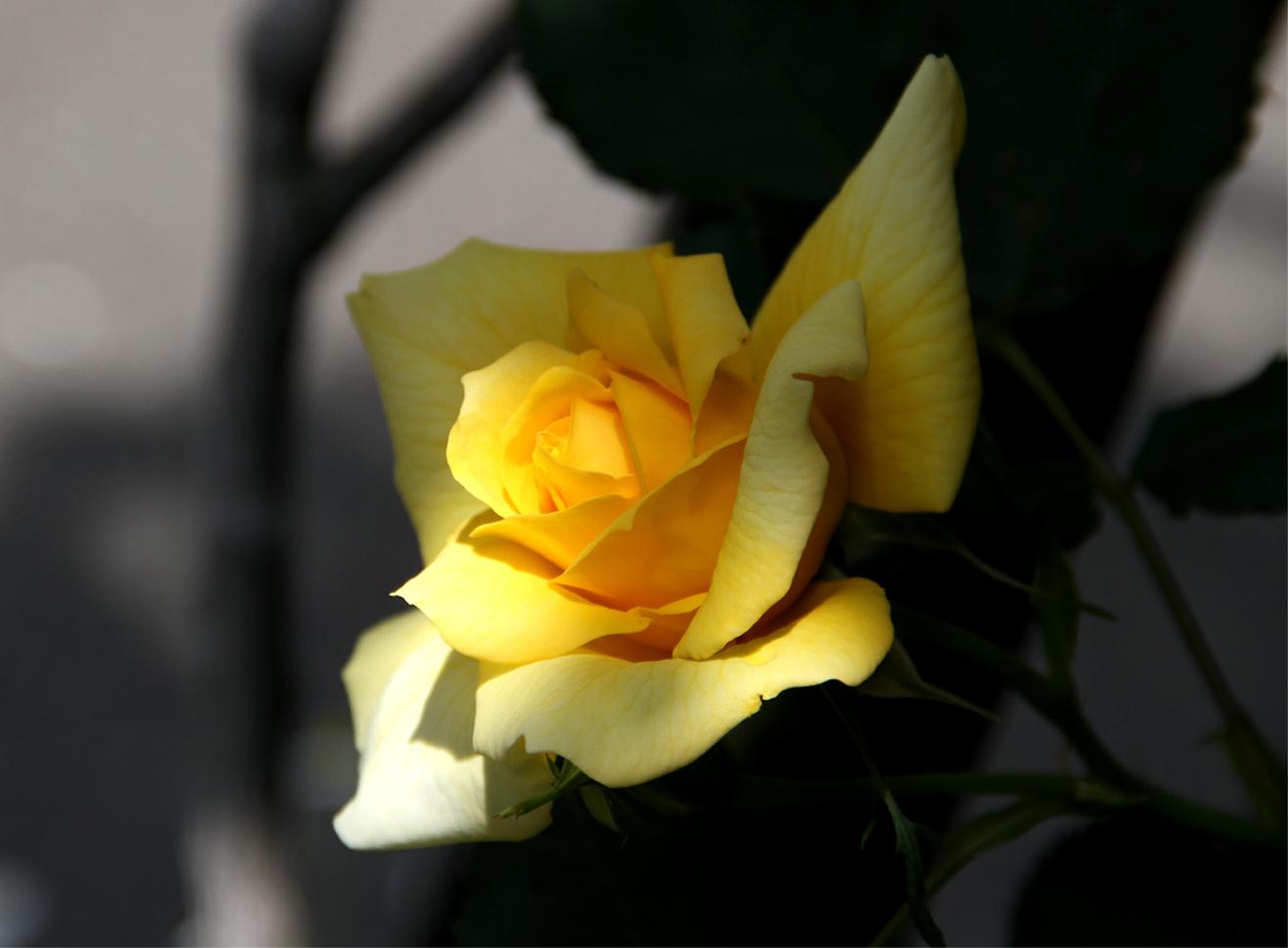 5月5日のバラ模様(12)