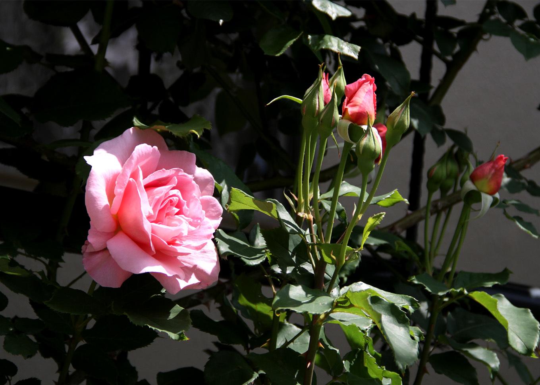 5月5日のバラ模様(15)
