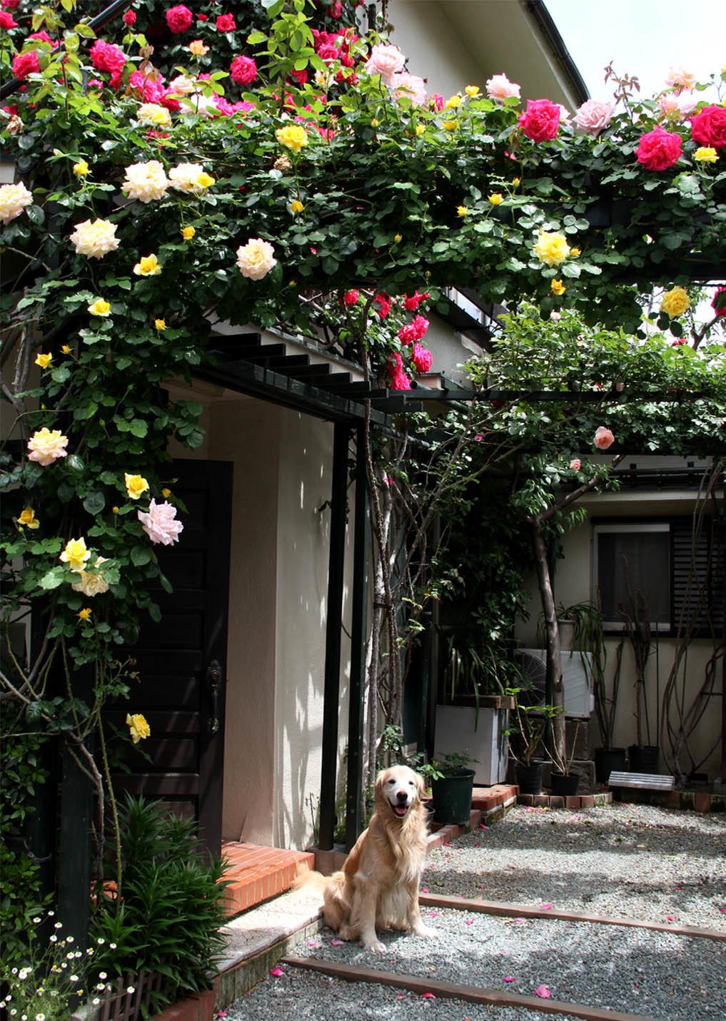 5月6日のバラ(2)