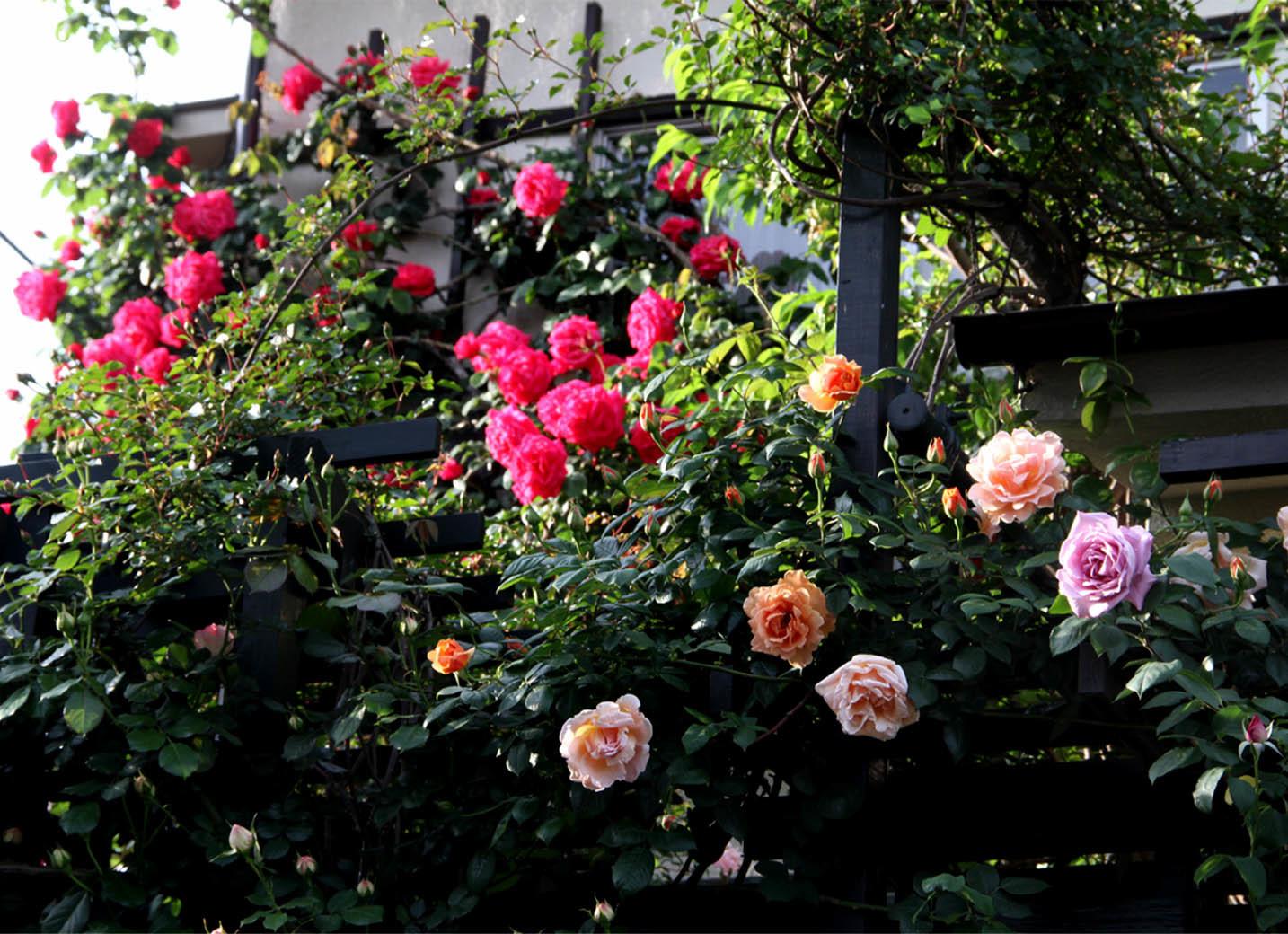 5月6日のバラ(3)