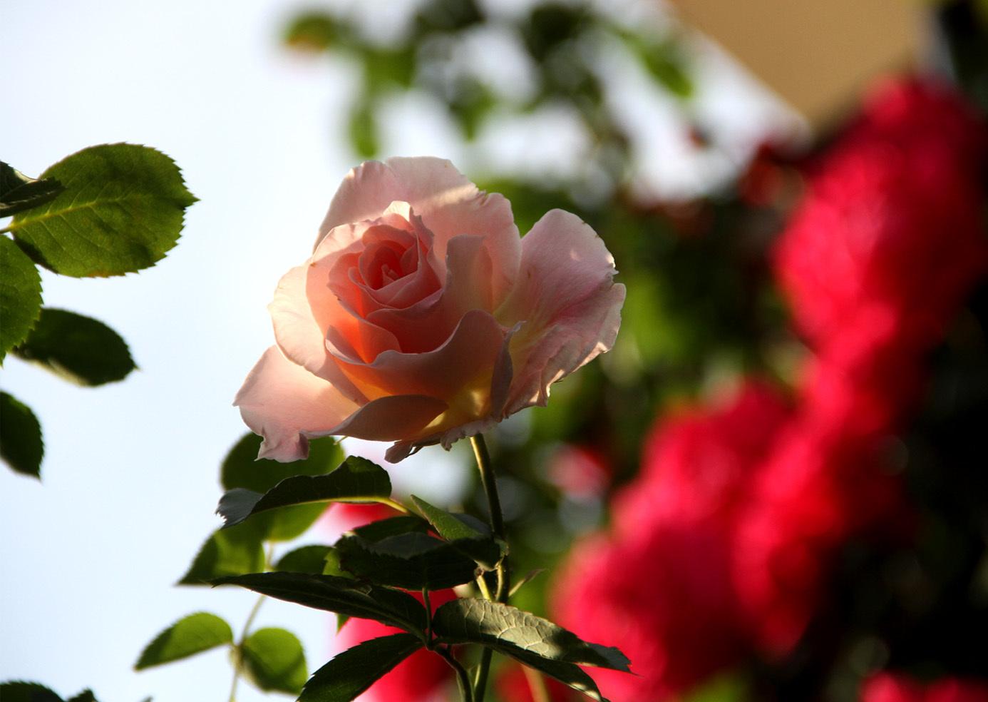 5月6日のバラ(4)
