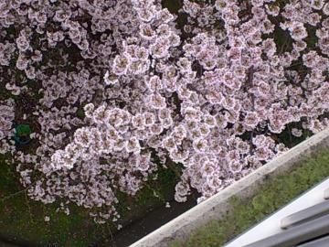 ベランダに迫る桜。