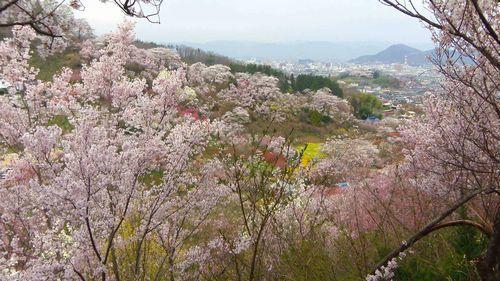 福島花見山14