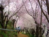 福島花見山22桜のトンネル