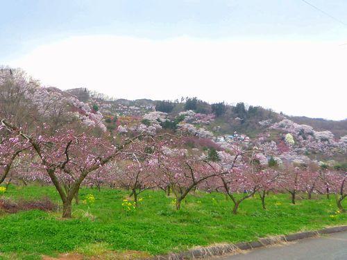 福島花見山24花の谷コース