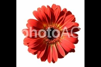 ガーベラの花 17-02s