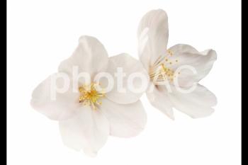 切り抜き写真素材 桜の花びら 16-04