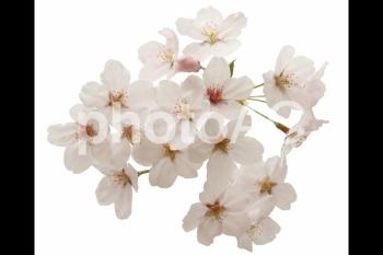 切り抜き写真素材 桜の花びら 16-06