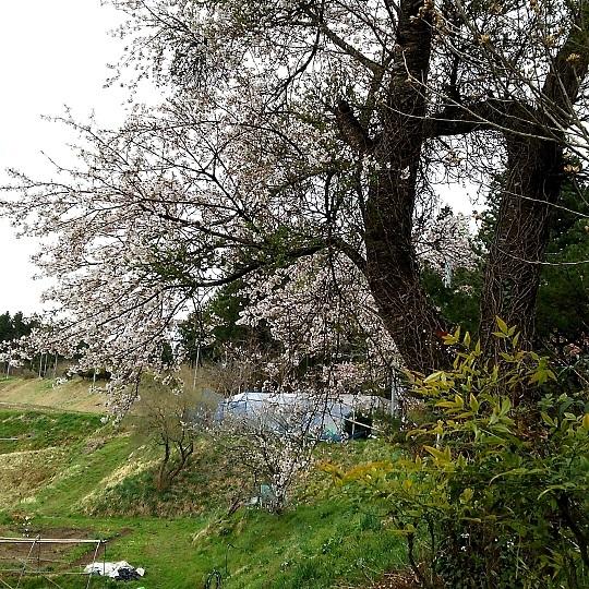 20170419桜