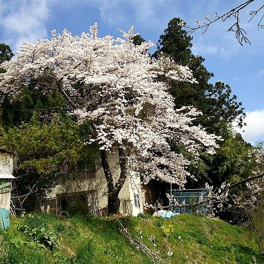 20170420桜