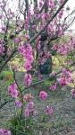 荒川区役所・荒川公園の桜2017年4月3日その1
