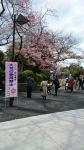 20170324上野公園の桜4