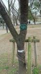 20170324上野公園の桜2
