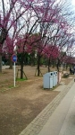 20170324上野公園の桜1