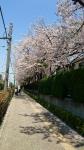 荒川浄水場の桜2017年4月13日その1