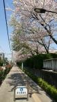 荒川浄水場の桜2017年4月13日その2