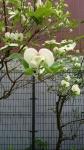 春の木々その4
