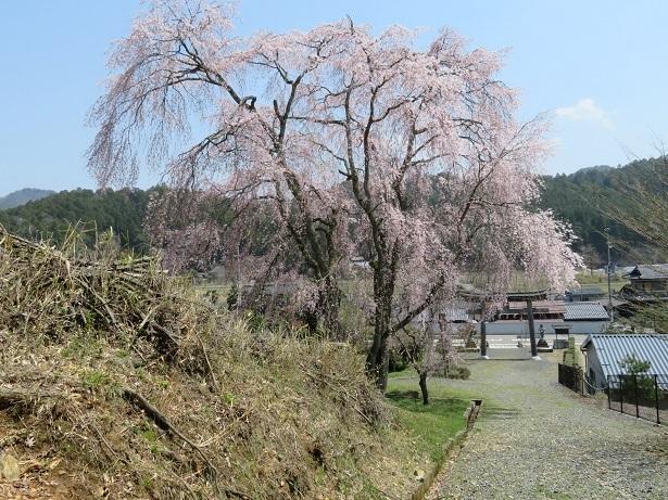 京北町の出会い桜