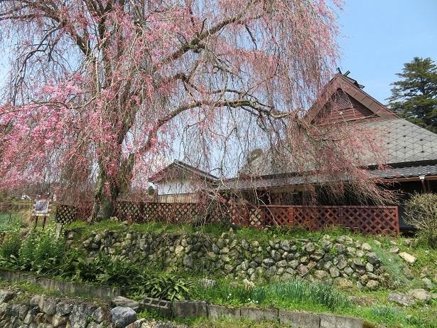 弓削「佐藤藤右衛門」の桜