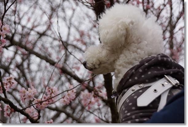 桜の花が咲き始めたこの時期に2