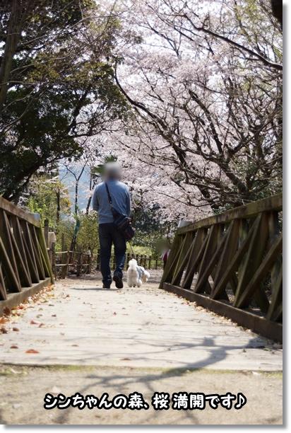 桜 満開♪1