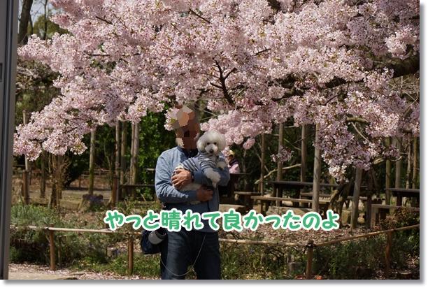 桜 満開♪4