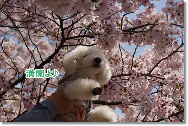 桜 満開♪5