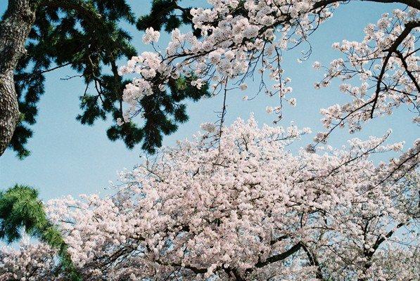 城址公園桜4
