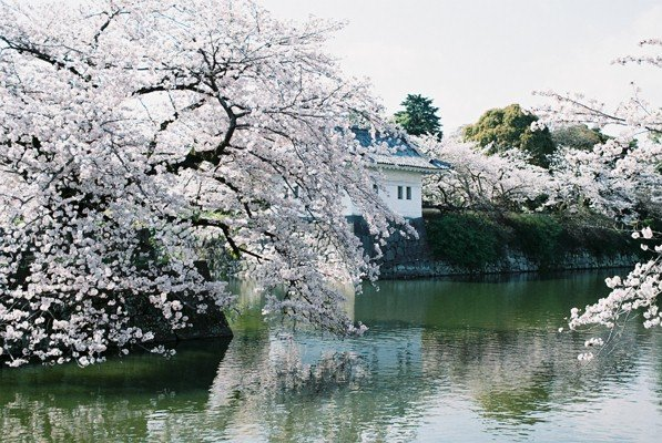 城址公園桜5