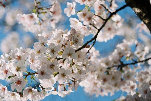 城址公園桜10