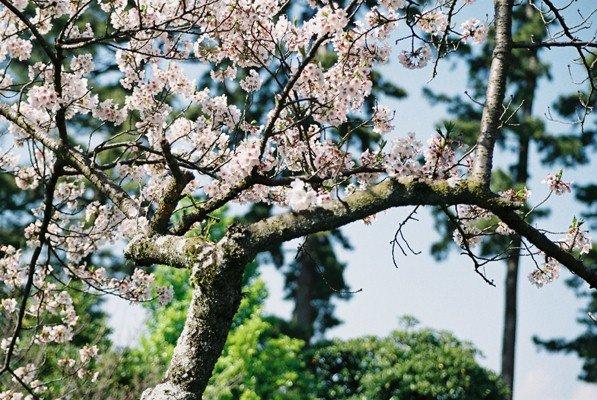 城址公園桜11