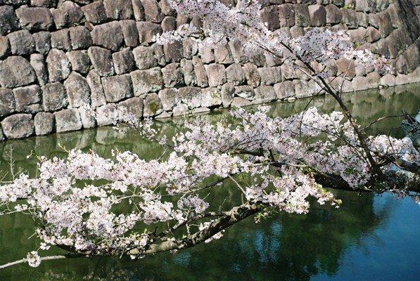 城址公園桜12