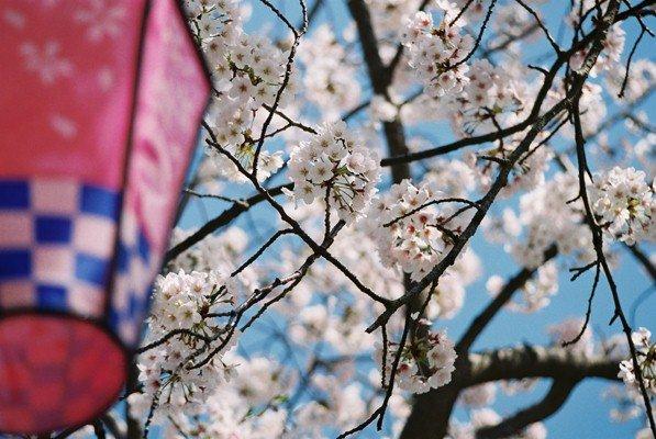 城址公園桜13