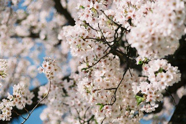 城址公園桜17