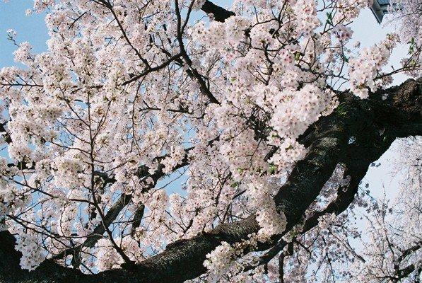 城址公園桜18