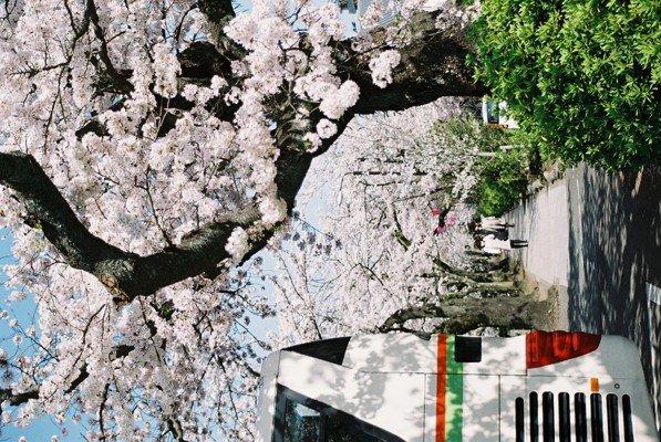 城址公園桜19