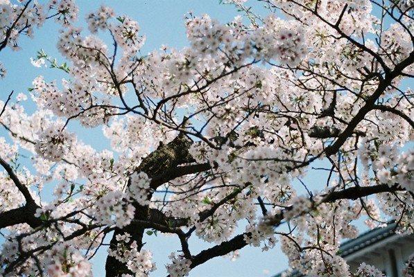 城址公園桜1