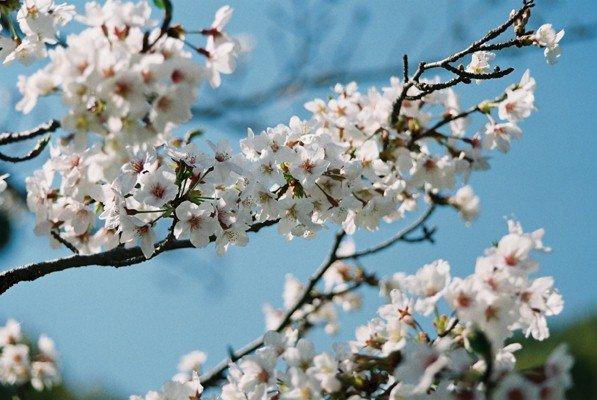 城址公園桜2