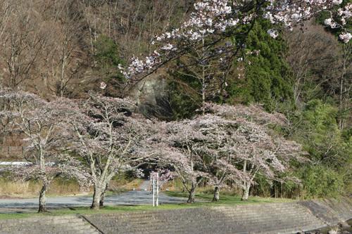 20170416 滝上の桜 市営駐車場側
