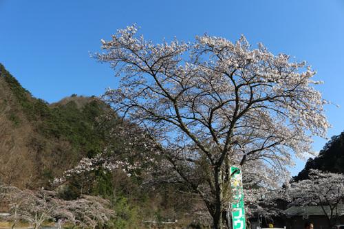 20170416 滝上の桜昇仙峡ロープウェイ側