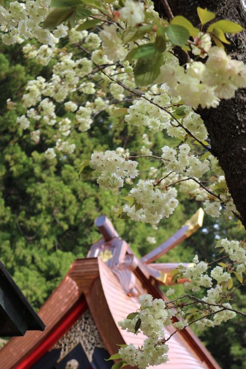 20170503 金櫻神社の桜 (3)
