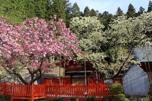 20170503 金櫻神社の桜 (8)
