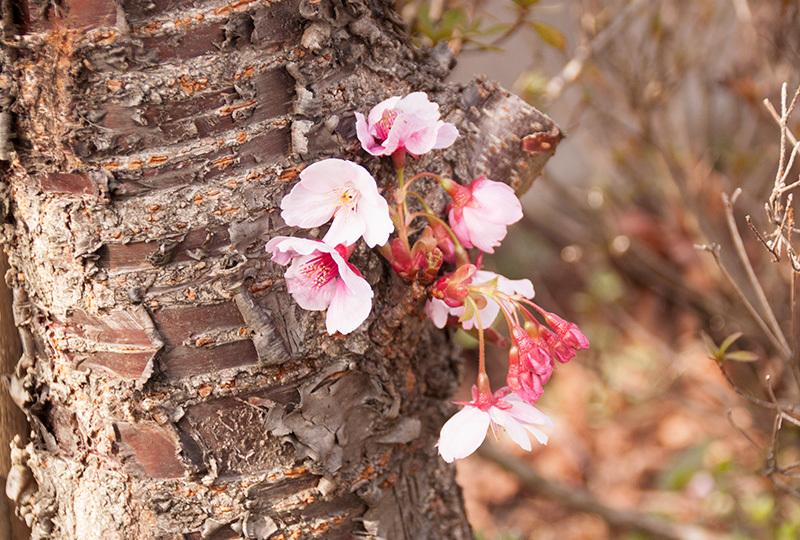 桜IMG_5059