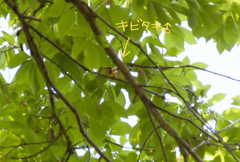 キビタキIMG_6704